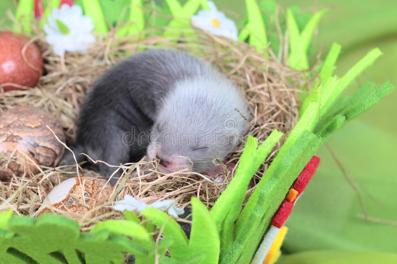 Download Ferret Baby In The Nest Of Hay Stock Photo - Image: 43215542