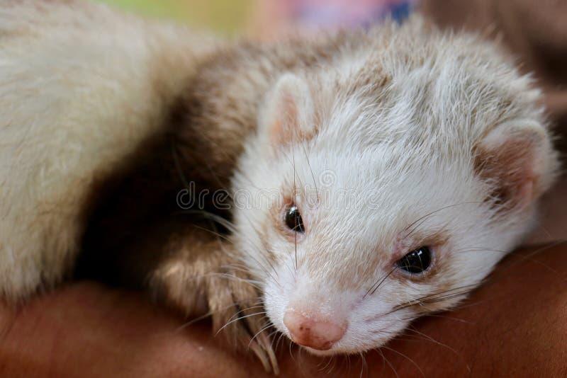 Ferret stock photos