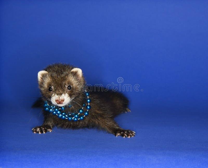 Ferret on blue wearing necklace. Portrait of brown ferret blue wearing necklace against blue background stock photo