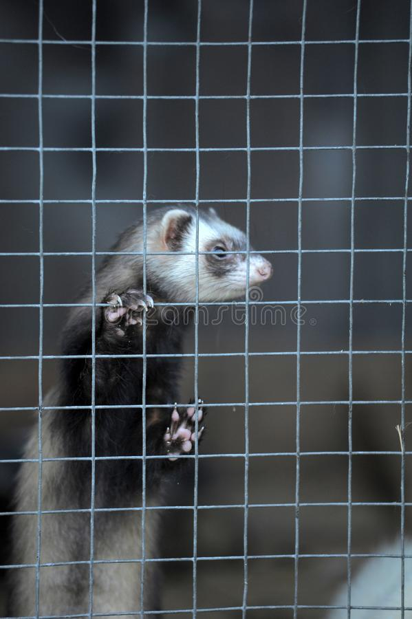 Ferret in a cage royalty free stock photos