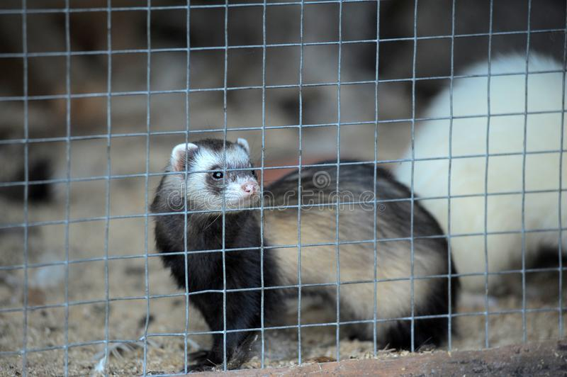 Ferret in a cage. The gray ferret is locked in a cagen royalty free stock photos