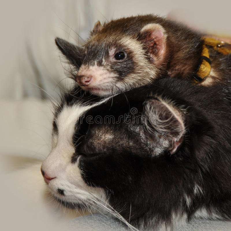 Download Ferret and cat stock photo. Image of pets, animal, isolated - 39513720