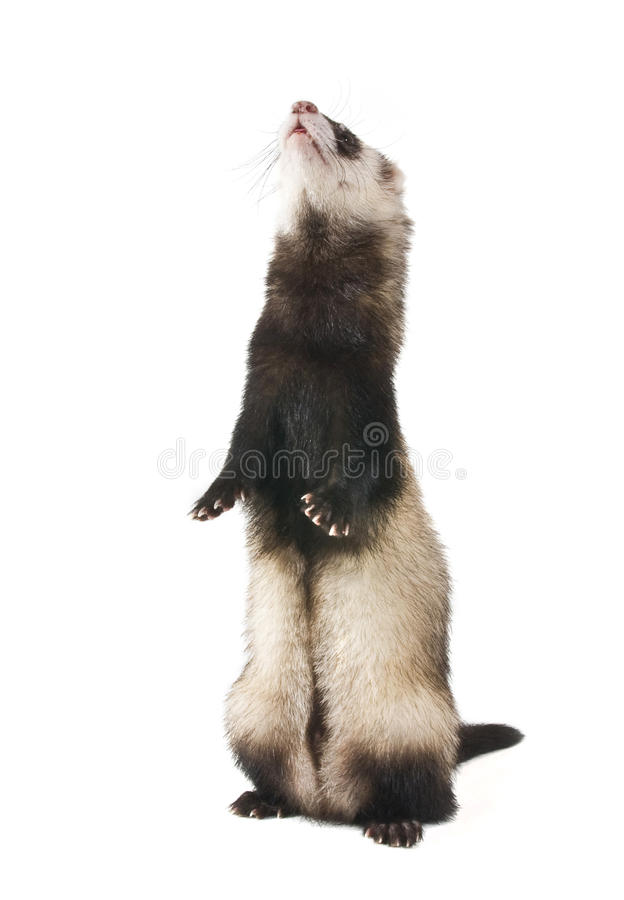 Download The Ferret Is A Column Stock Photography - Image: 19401932