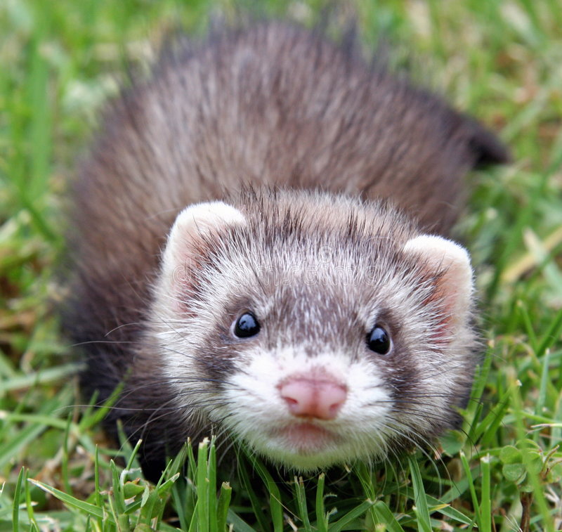 Ferret Face royalty free stock photo