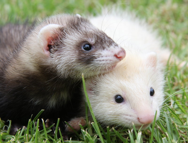 Download Ferret Friends stock image. Image of adorable, exploring - 7788327