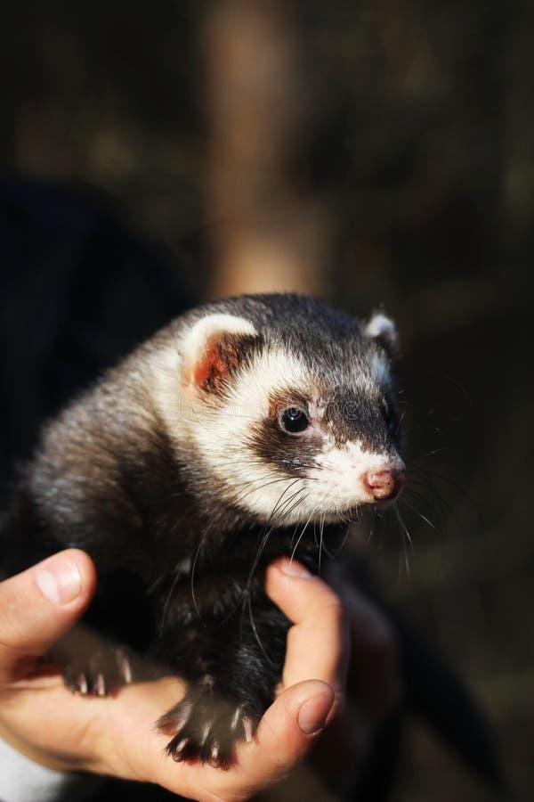 ferret on a human hand stock photos