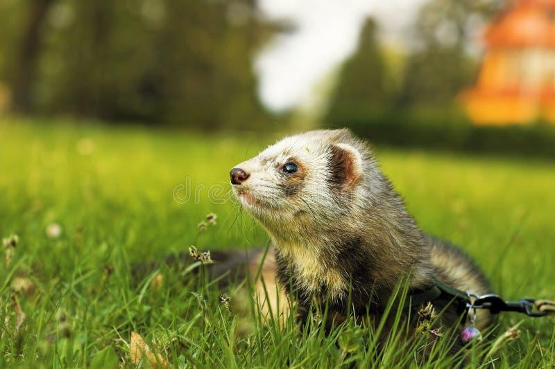 Ferret on green meadow stock photo
