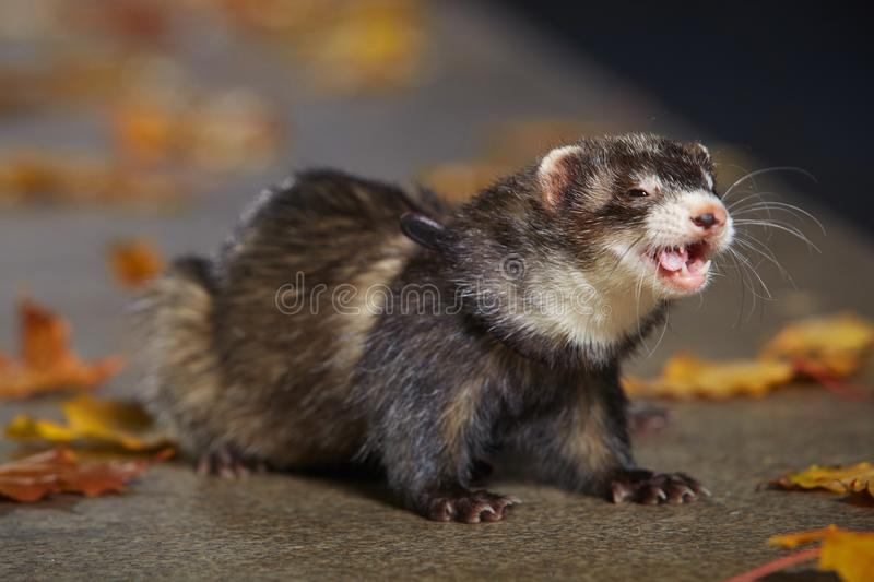 Pretty black sable ferret posin on stone fence in autumn park. Ferret on leash posing and enjoying their game in autumn park stock photo