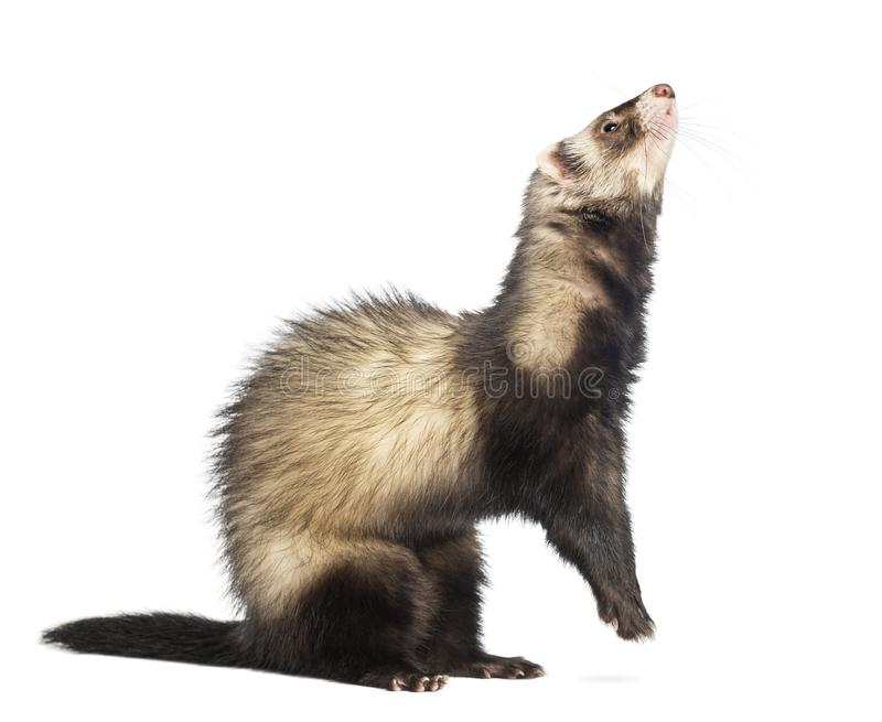 Ferret 9 months old standing on hind legs royalty free stock images