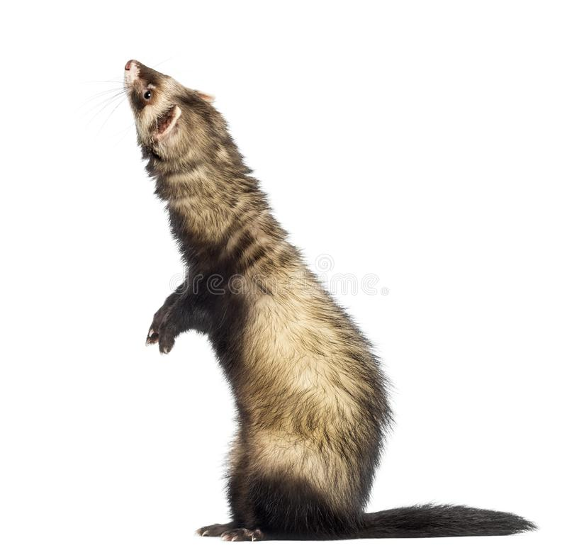 Ferret 9 months old standing on hind legs stock photo