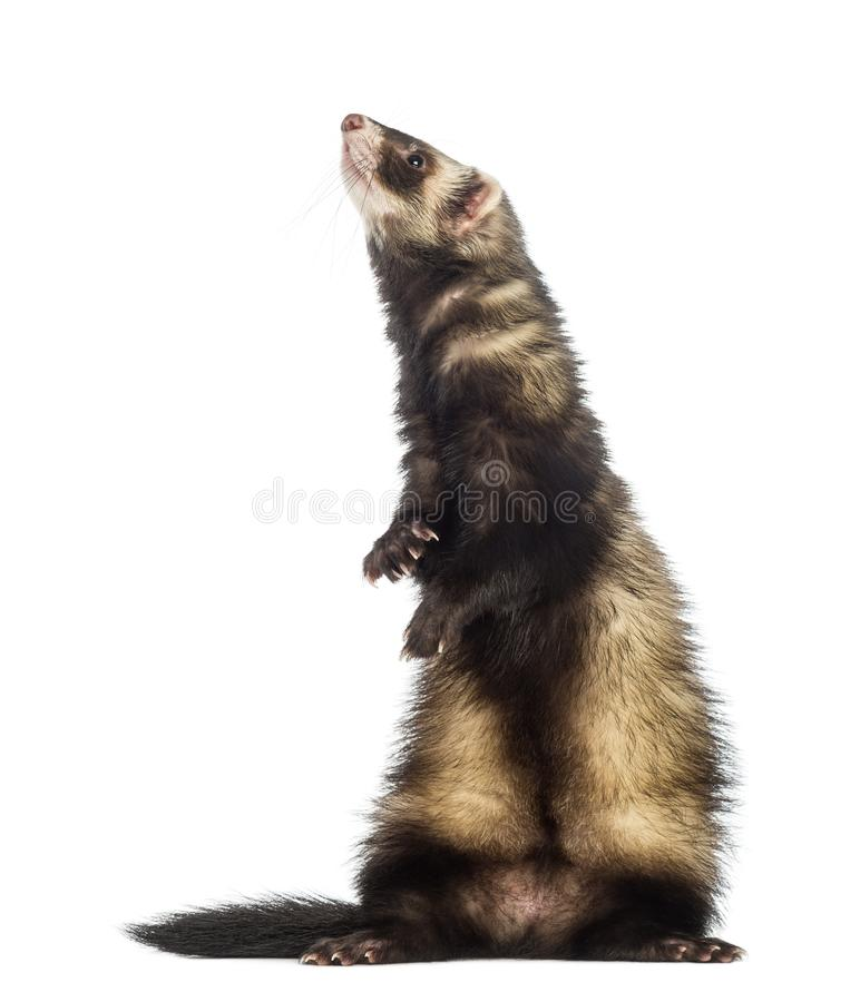 Ferret 9 months old standing on hind legs stock photography