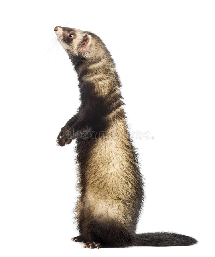 Ferret 9 months old standing on hind legs royalty free stock photo