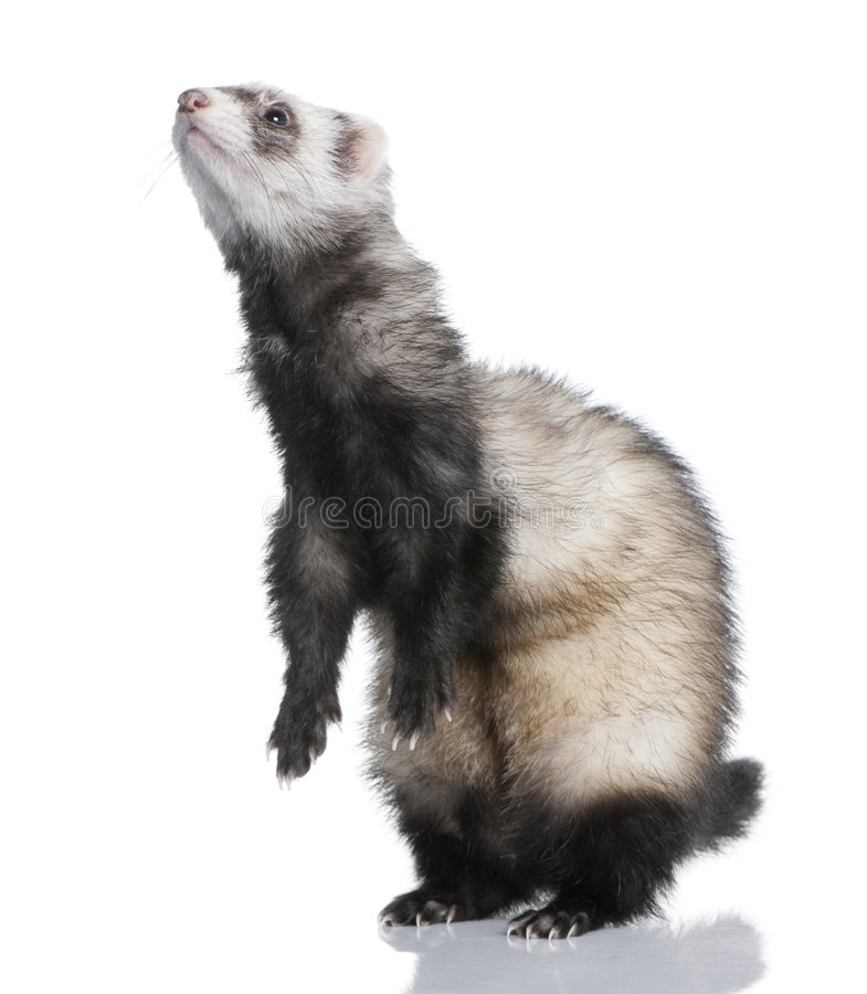 Ferret - Mustela putorius furo (1 year old) stock photography