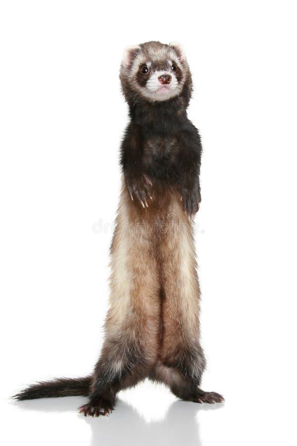 Free Ferret (Mustela Putorius Furo) Royalty Free Stock Photo - 14441585