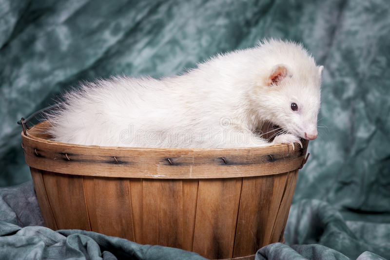 Ferret nibbles on basket. royalty free stock photos