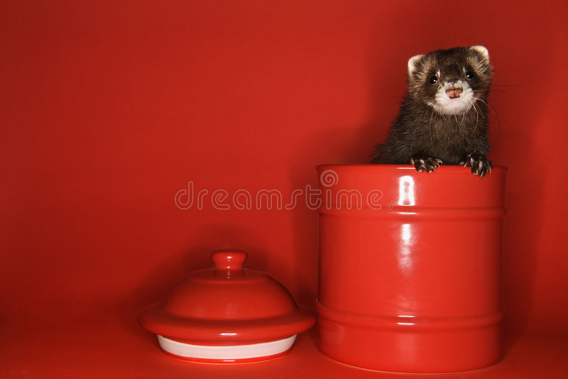 Ferret peeking out of jar. royalty free stock images