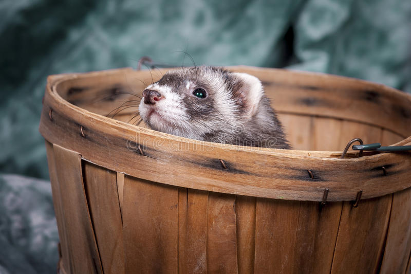Ferret peeks out from basket. stock photos