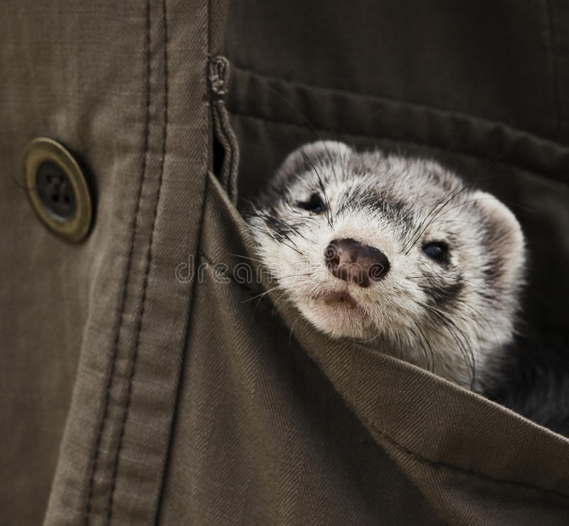 Ferret pet. In pocket focus on nose