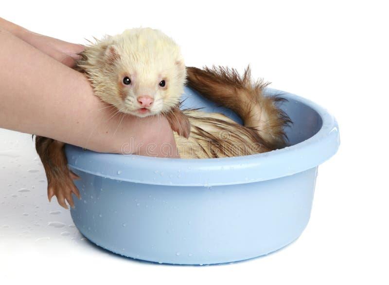 Ferret (polecat) wash in water stock image