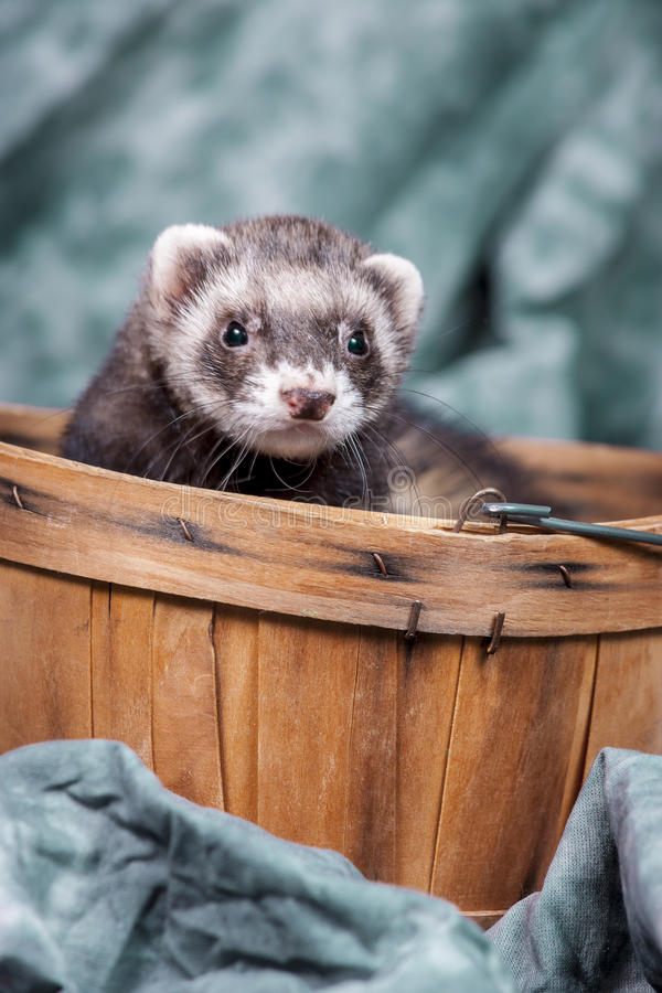 Ferret pops out from basket. royalty free stock images