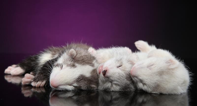 Ferret puppies sleeping on violet background royalty free stock photography