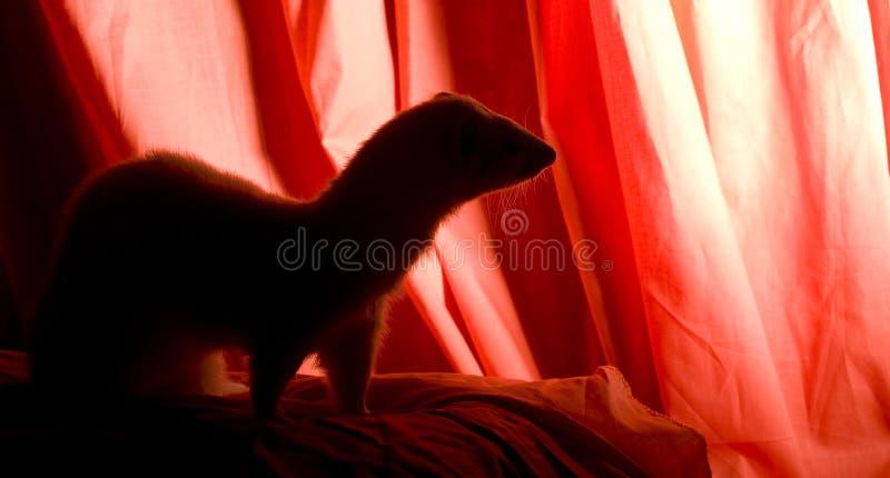 Ferret Silhouette stock photo