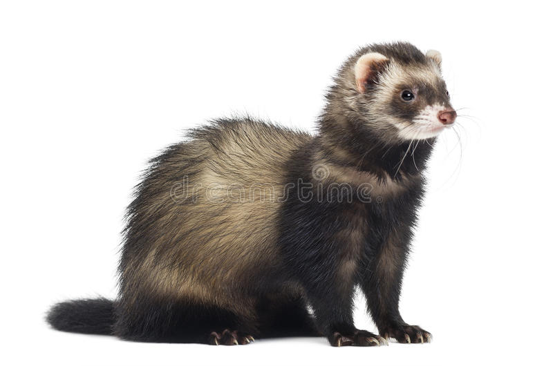 Ferret sitting and looking right royalty free stock images