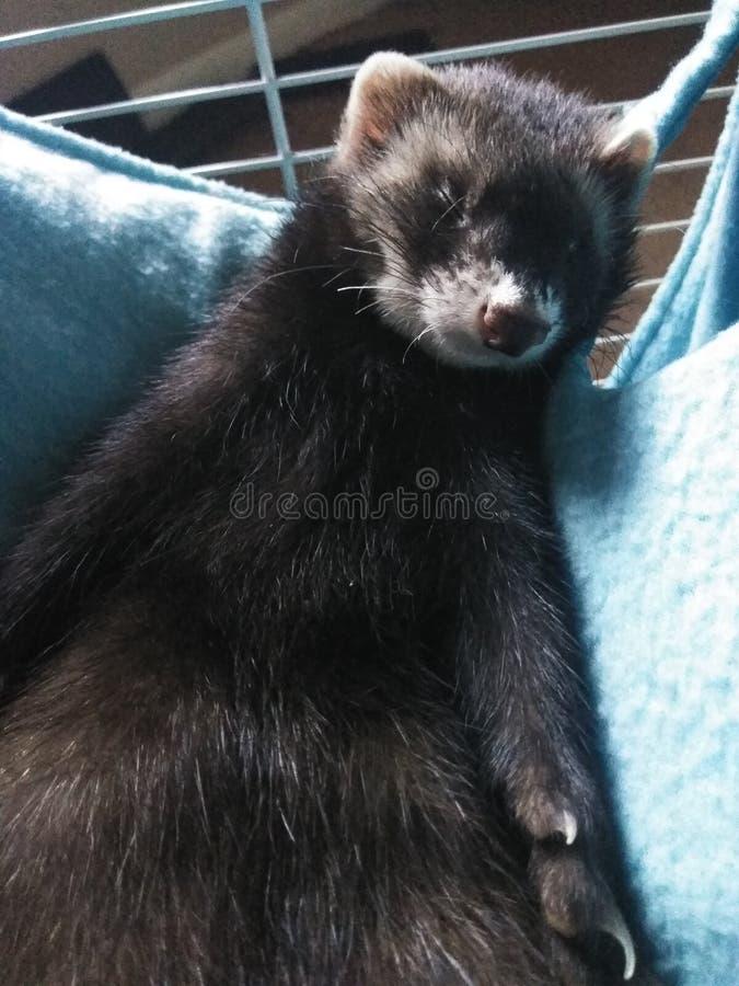 Ferret sonolento em Hammock foto de stock