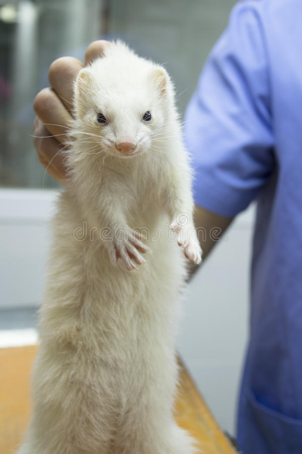 Ferret standing royalty free stock photos
