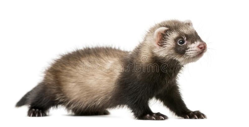 Ferret standing stock photography