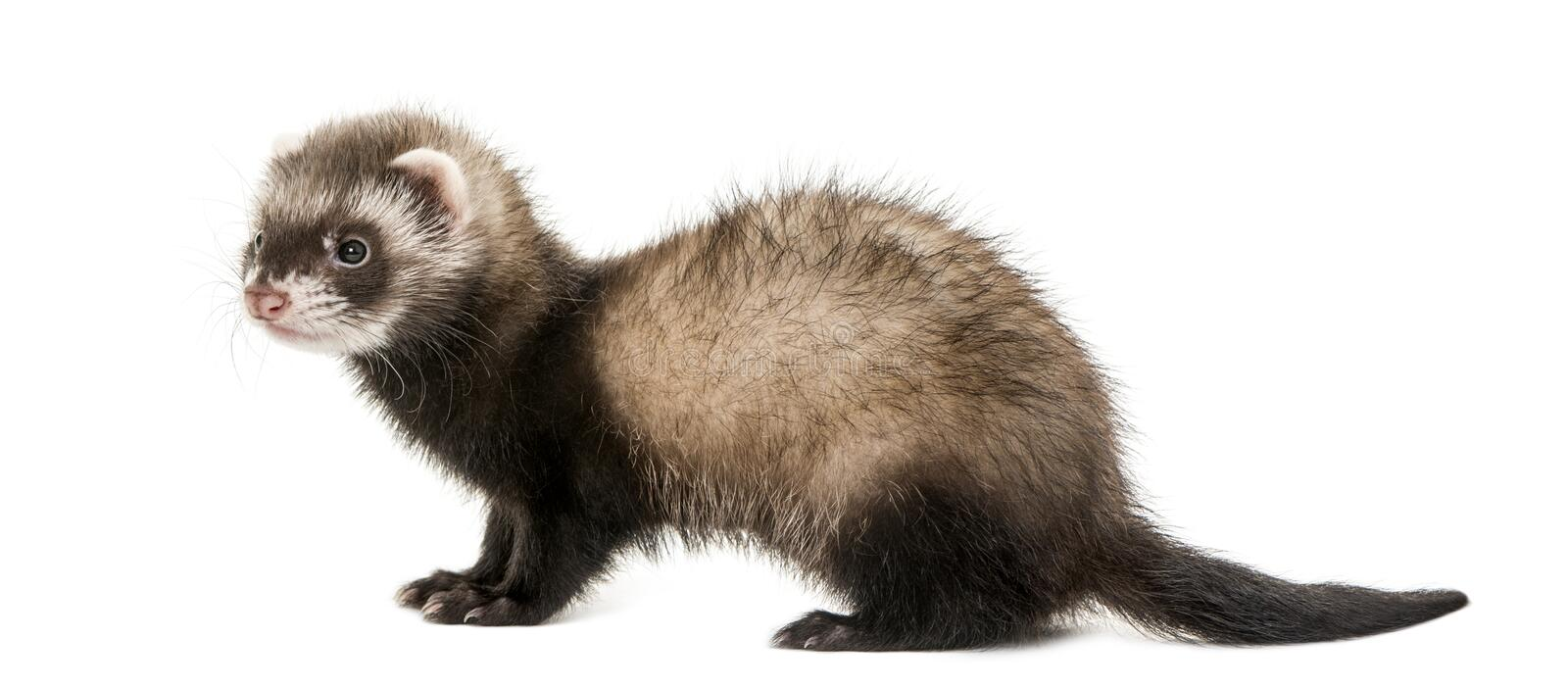 Ferret standing royalty free stock image