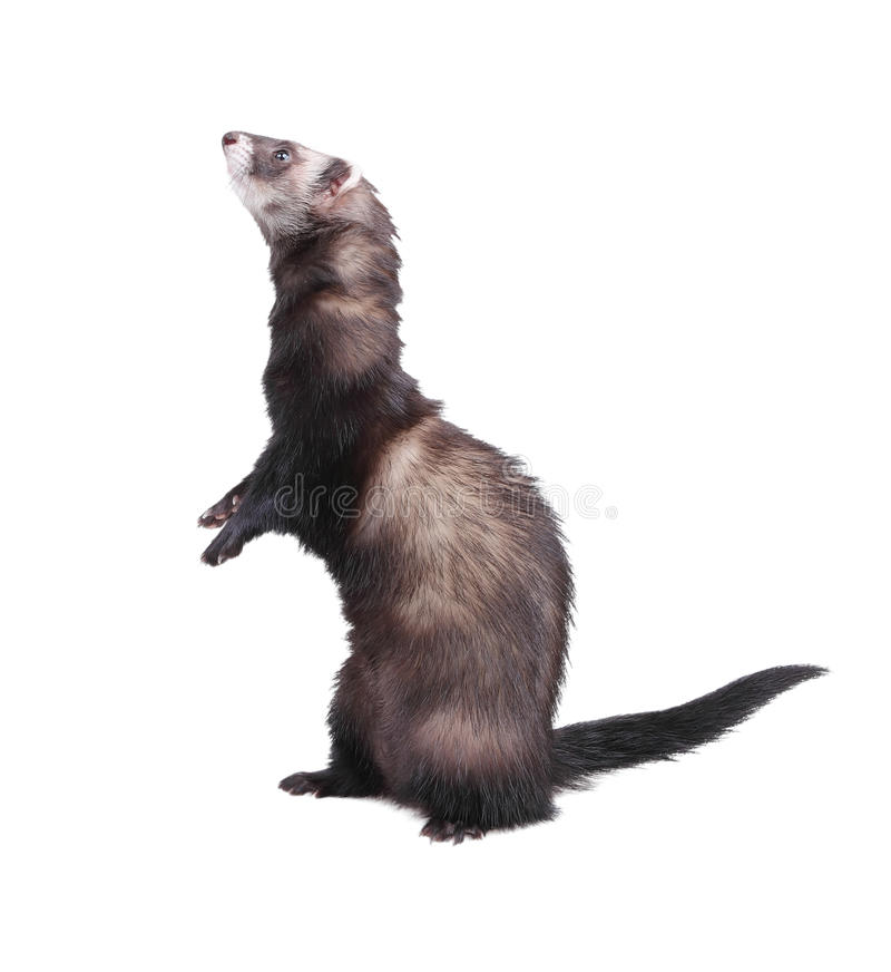 Ferret standing on hind legs royalty free stock photography