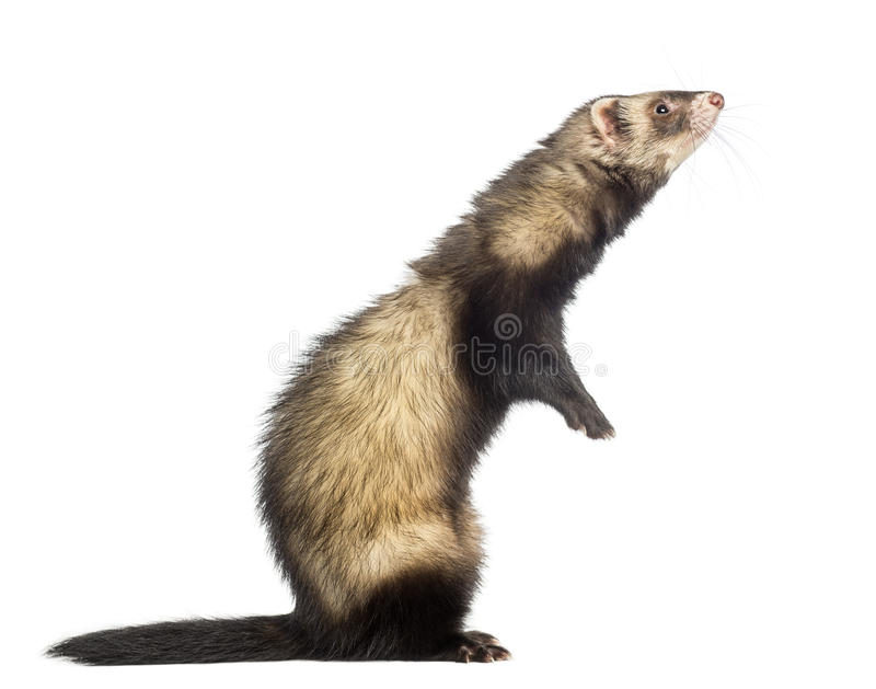 Ferret standing on hind legs and looking up stock images
