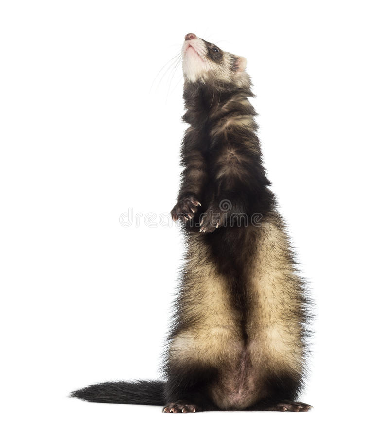 Ferret standing on hind legs and looking up royalty free stock images