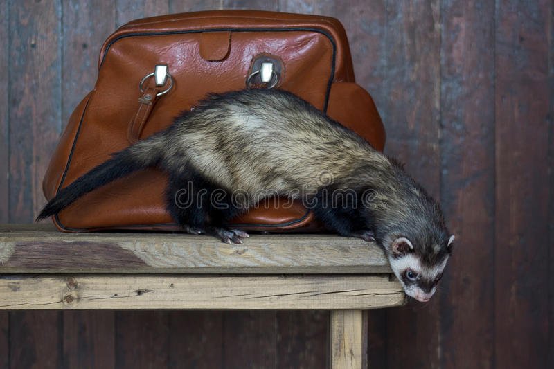 The ferret is standing on a wooden table. royalty free stock images