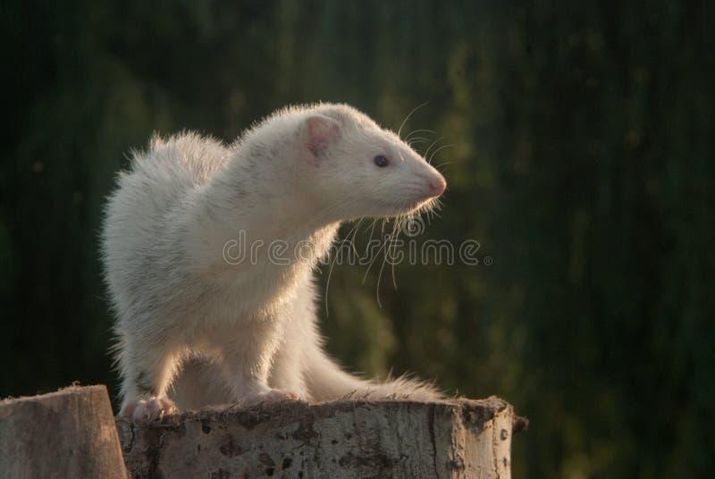 Download Ferret on a stump stock photo. Image of stump, cute, ferret - 32189096