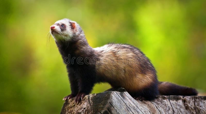 Ferret. On the trunk looks around the dangers