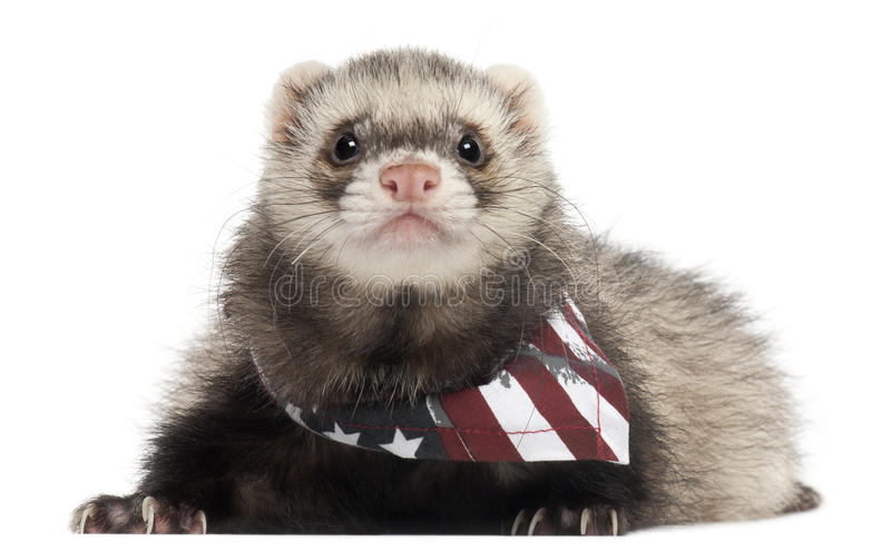 Ferret wearing American flag scarf. In front of white background royalty free stock photo