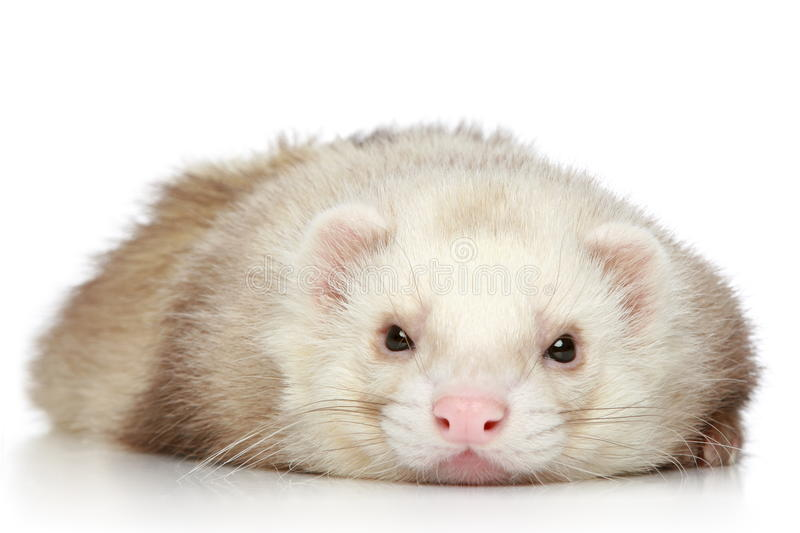 Download Ferret On A White Background Stock Photo - Image: 18930578