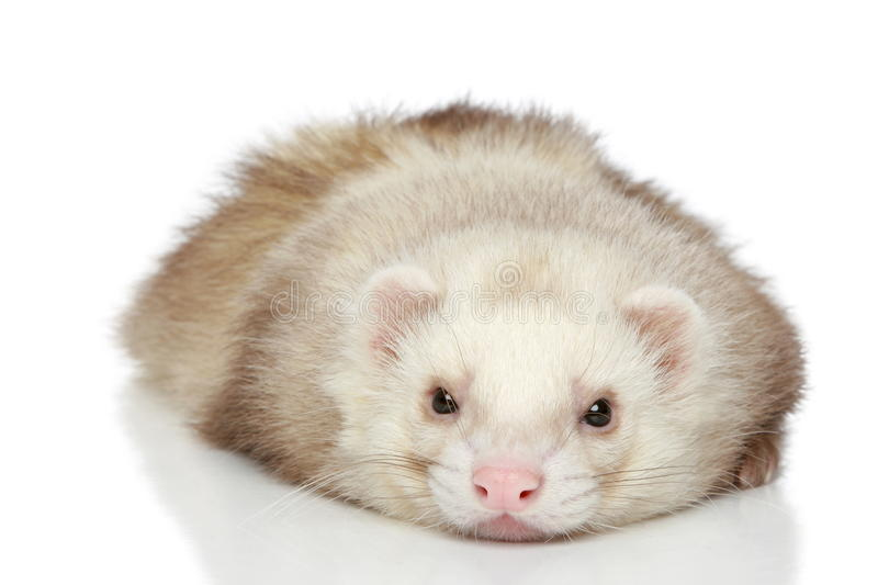 Download Ferret On A White Background Stock Image - Image: 19246509