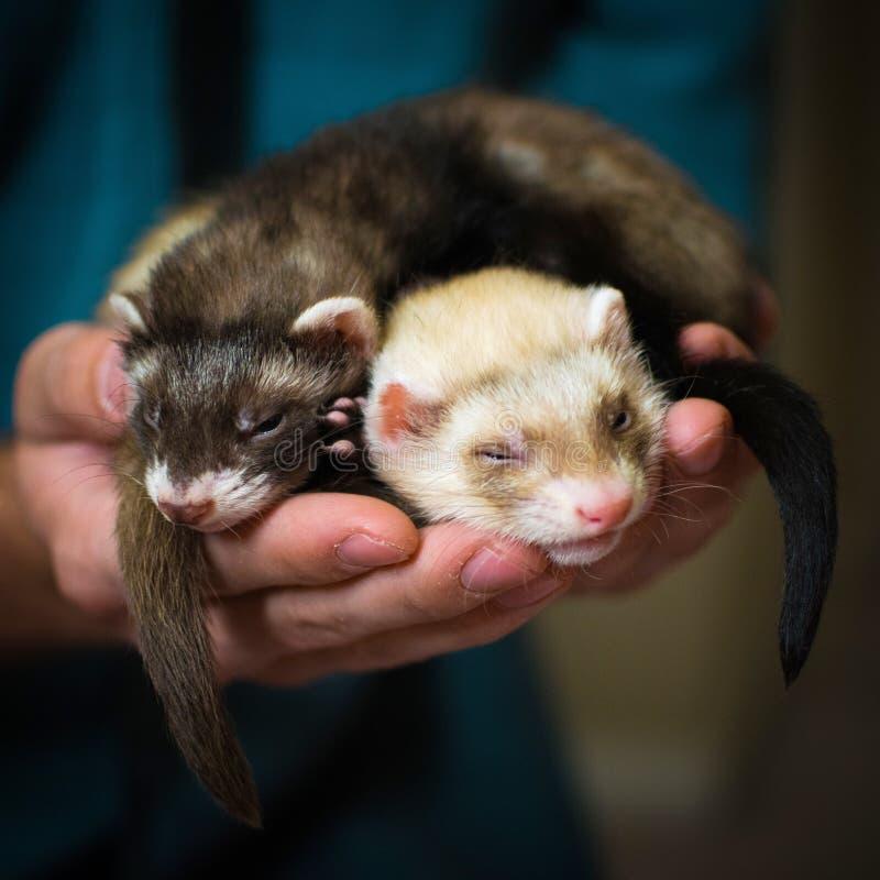 ferrets стоковая фотография