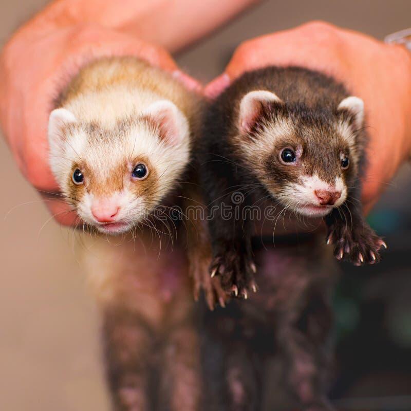 ferrets стоковая фотография rf