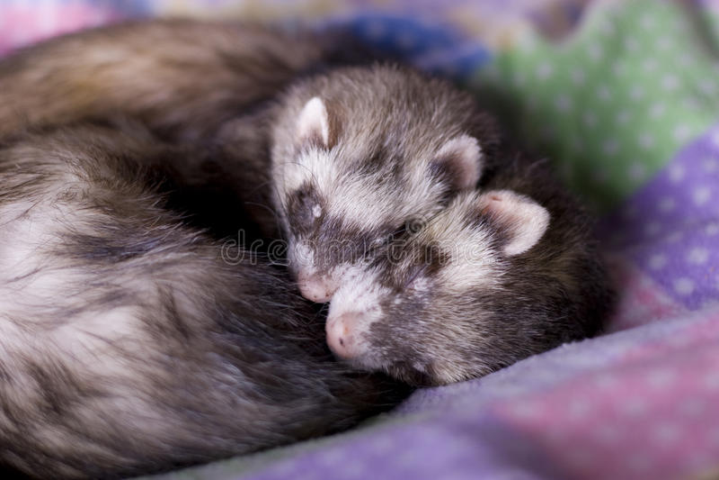 Ferrets: Mocha + Bean stock photo