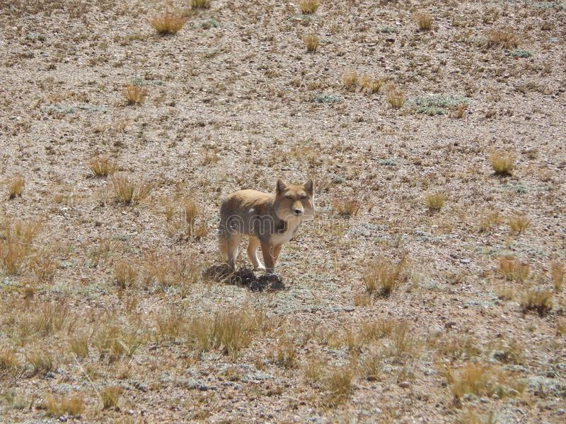 Ferrilata do vulpes de Tibet imagem de stock