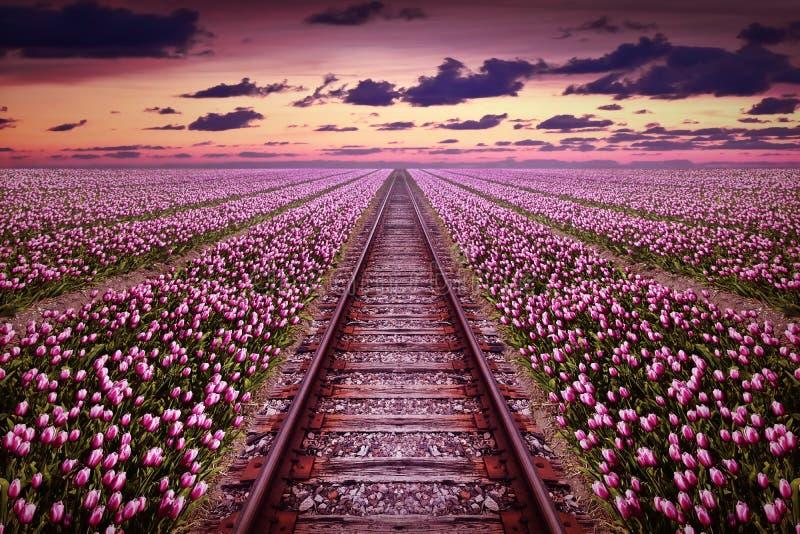 Ferrocarril en un campo púrpura del tulipán foto de archivo