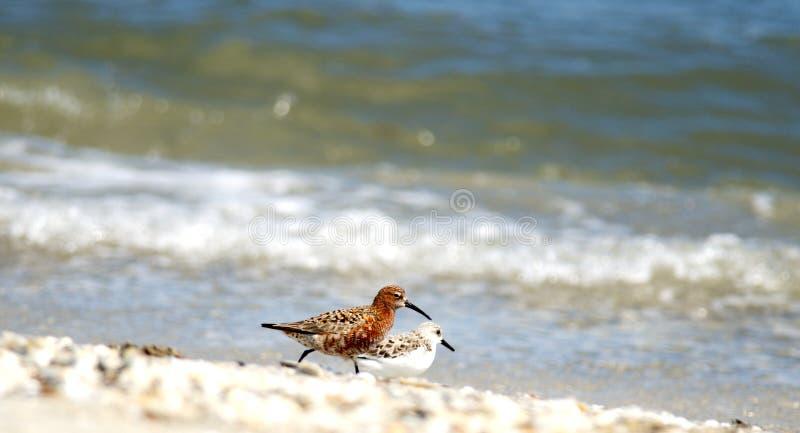 Ferruginea de Calidris de bécasseau de courlis cendré photo libre de droits