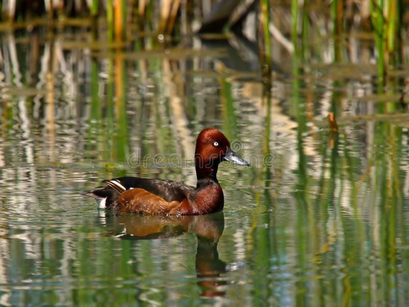 Ferruginous Duck stock photography