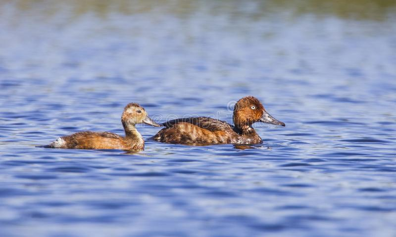 Ferruginous Duck & x28;Aythya nyroca& x29; is a wetland bird and it is a duck stock photos