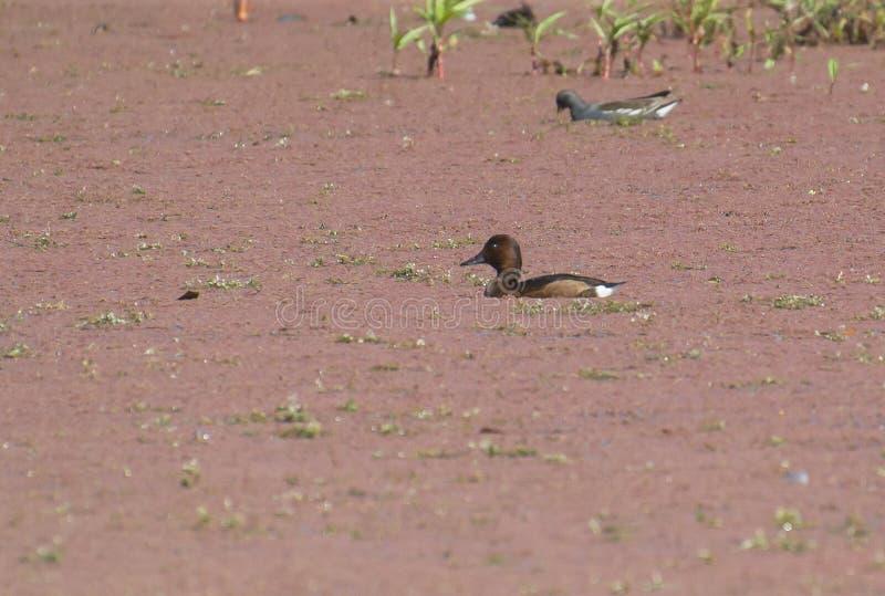 Ferruginous duck or Ferruginous Pochard in the Wetland stock image