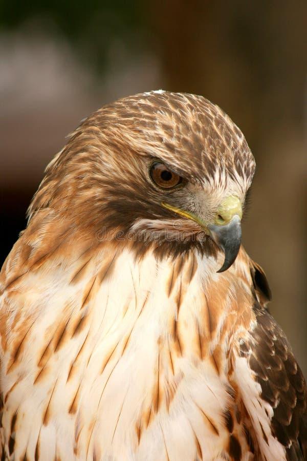 Ferruginous Hawk royalty free stock image